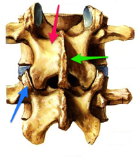 Annotated Netter Lumbar Spine jpg